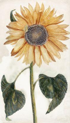 Johan Teyler, Sunflower, Rijksmuseum, Amsterdam, The Netherlands Sunflower Illustration, Botanical Illustration, Botanical Art, Flower Pictures, Print Pictures, Sunflower Drawing, Drawing Flowers, Art Flowers, Floral Flowers