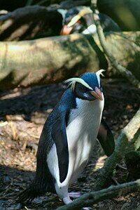 Fiordland penguin,Eudyptes pachyrhynchus