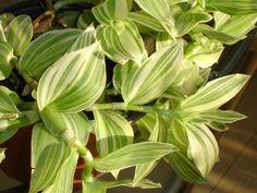 Tradescantia.albiflora.(fluminensis).jpg (3072×2304)