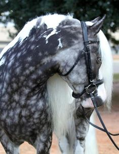 I usually hate posting photos without proper credit, but this gorgeous dappled grey tobiano was just too hard to pass up. I'm thinking he's maybe a Gypsy Vanner?