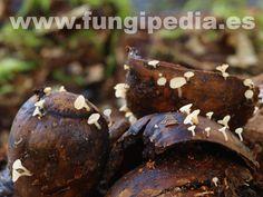 Hymenoscyphus fructigenus es un hongo del orden Leotiales también conocido como Peziza fructigena, .. ver más información.
