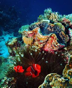 Check out my clam.  #underwaterphotography #underwateradventures #anemone #coralsea #giantclam #australia #diving #canonphotography #greatbarrierreef #gbr #nemoscousin #anemonefish #seascape by diffcat http://ift.tt/1UokkV2