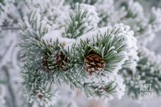 Snow Covers the Branches of a Lodgepole Pine Tree Photographic Print by Tom Murphy at Art.com