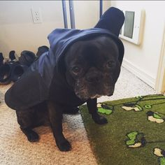 From Instagram: Junji hopes the arrival of his new BatHat Raincoat doesn't mean rain is coming too! ☔️ || #frenchie #frenchies #french #bulldog #bulldogs #frenchbulldog #frenchbulldogs #raincoat