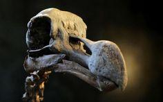 Un esqueleto completo de dodo a subasta en Billingshurst, West Sussex, Inglaterra (Gareth Fuller, 2016)
