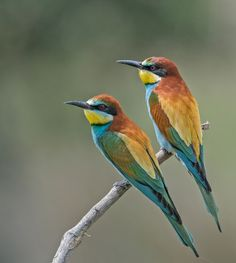 https://flic.kr/p/wnuBox | Bee-eaters (Merops apiaster) | Another of these fabulous birds I'm afraid. Seen in Extremadura, Spain. Best viewed large.