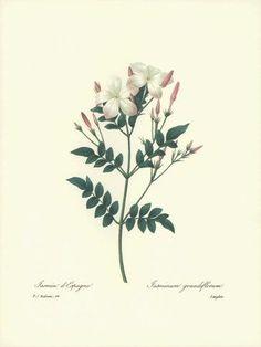 botanique Jasminum polyanthum - Pesquisa Google