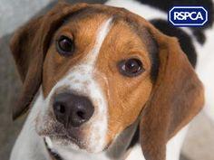 Samson, Beagle, 1 Year, Danaher Animal Home Pet Search, Animal House, Sadie, Beagle, 1 Year, Charity, Wildlife, Pets, Animals