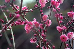 Japanese apricot, today