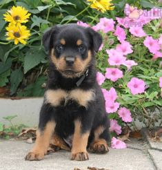 #Rottweiler #Charming #PinterestPuppies #PuppiesOfPinterest #Puppy #Puppies #Pups #Pup #Funloving #Sweet #PuppyLove #Cute #Cuddly #Adorable #ForTheLoveOfADog #MansBestFriend #Animals #Dog #Pet #Pets #ChildrenFriendly #PuppyandChildren #ChildandPuppy #LancasterPuppies www.LancasterPuppies.com Rottweiler Breeders, Rottweiler Puppies For Sale, German Rottweiler, New Puppy, Puppy Love, Lancaster Puppies, Mother Bears, Mans Best Friend, Animals Dog