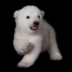 ~~Polar Bear Cub ~ 2 months old~~