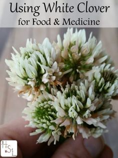 """homemade-medicines-and-foods-using-white-clover Homesteading - The Homestead Survival .Com """"Please Share This Pin"""""""