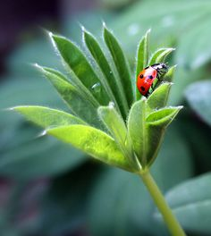 Ladybug on green---Through transgression, the sons of man become subjects of Satan. Through faith in the atoning sacrifice of Christ, the sons of Adam may become the sons of God! By assuming human nature Christ elevates humanity.