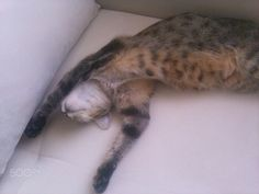 American shorthair style of sleeping - null