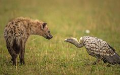 A hyena and vulture are locked in an intense stare down over food at the Maasai Mara National Reserve in Narok, Kenya.