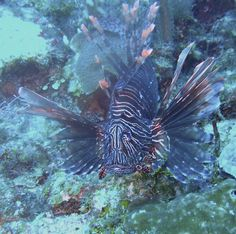 Lionfish off the coast of Costa Maya, Mexico Would like to meet this guy
