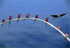 Google Image Result for http://img.posterlounge.de/images/wbig/frans-lanting-carmine-bee-eater-birds-in-breeding-plumage-perch-on-a-branch-165539.jpg