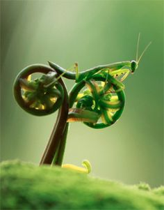 Mighty fierce praying mantis riding a motorcycle....or opening fiddlehead fern.
