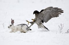 A Hawk chases a Rabbit during an Annual traditional hunting competition near the Village of Uzynagash outside Almaty, Kazakhstan Tame Animals, Zoo Animals, Animals And Pets, Funny Animals, Eagles, Steller's Sea Eagle, Photo Animaliere, Animal Magic, Kinds Of Birds