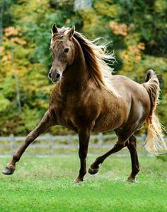 Rocky Mountain Horse gelding. photo: Mark Barrett.