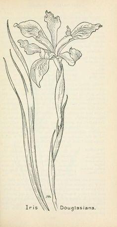 Field book of western wild flowers Margaret Armstrong Botanical Line Drawing, Botanical Drawings, Botanical Prints, Plant Illustration, Botanical Illustration, Iris Flowers, Wild Flowers, Chest Tattoo Flowers, Iris Drawing