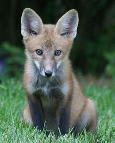 Red Fox Cub by stephenjjohnson - Stephen Johnson