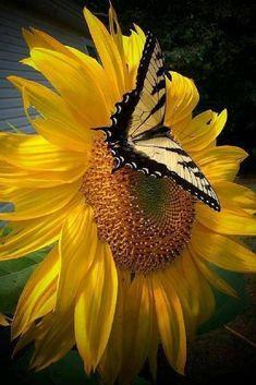 Butterfly on sunflower.... - Pixdaus