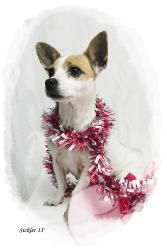 Polly is an adoptable Chihuahua Dog in Emporia, KS. Found in Green Acres...