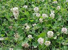 white clover - Google Search