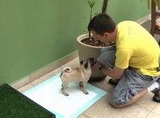 Ensine seu cão a fazer xixi no lugar correto