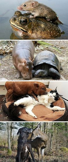 Interspecies love! Check out the stories of these unlikely animal pairs at the link. So sweet!