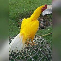 Mascote amarelo