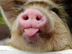 Piggy with attitude!