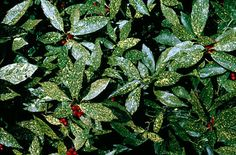 Aucuba japonica 'Variegata', female cultivar with glossy leaves heavily spotted with creamy-yellow; glossy red berries if male clone nearby Plant Gifts, Japonica, Plants, Plant Pictures, Variegated, Laurel Plant, Shade Tolerant Plants, Shrubs, Small Purple Flowers