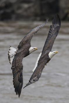 Casal de aguias