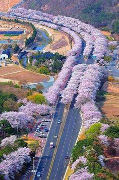 Japonya'da Kiraz Çiçekleri ile dolu bir yol