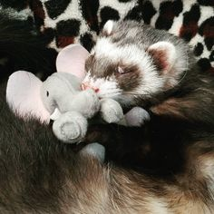 """155 Likes, 5 Comments - Ferrets And Friends (@ferretfrenzies) on Instagram: """"Some one likes their elephant❤ferretsofinstagram #ferret #ferrets #ferretsareeverything…"""""""