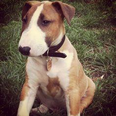 #baubau#bullterrier##dog##mydog