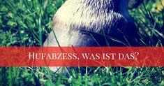 EIN HUFABZESS – WAS IST DAS?  Die Diagnose eines Hufabszesses kommt immer mal vor, so dass die meisten Reiter immer früher oder später einmal damit zu tun haben.  Ein Hufabzess ist sehr schmerzhaft, ärgerlich und manchmal zeitraubend, um es zu diagnostizieren und es zu behandeln. Wir haben Kontakt mit vielen Pferdebesitzern, aber viele …