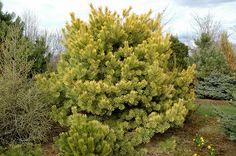 Click to view full-size photo of Golden Scotch Pine (Pinus sylvestris 'Aurea') at Connon Nurseries CBV