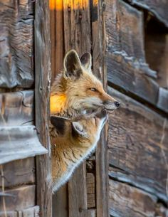 """pagewoman: """" Red Foxes """""""