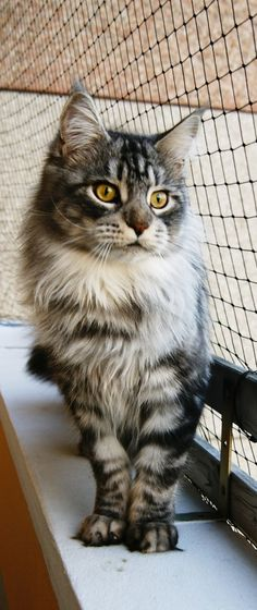 Maine coon | Top 15 most #Cutest #cat #breeds