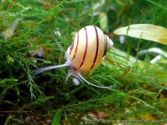 Zebra apple snail, Asolene spixi, l'escargot pomme zébré Betta Tank, Betta Fish, Fish Tank, Aquarium Snails, Aquarium Fish, Snails For Sale, Apple Snail, Freshwater Aquarium, Tropical Fish