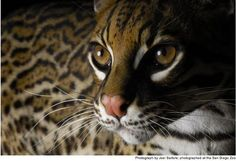 OCELOT beautiful! Would be awesome to try and mimic with makeup for Halloween