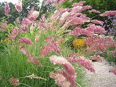 Pink paintbrush grass Melinis nerviglumis 'Savannah'