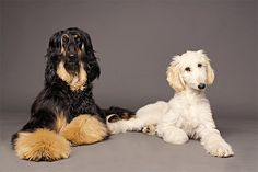 Afghan Hound Dog Breed Information, Pictures, Characteristics & Facts - DogTime Afghan Hound, Beautiful Dog Breeds, Beautiful Dogs, Hound Dog Breeds, Tallest Dog, Crazy Dog Lady, Dog Facts, Dogs And Kids, Pet Dogs