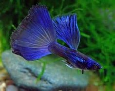 blue male Guppy pulling off a pretty good imitation of a betta fish, actually