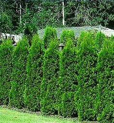 Emerald green Arborvitae Evergreen..going to do this to hide our neighbors back fence