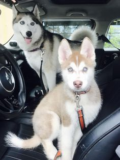 Wonderful All About The Siberian Husky Ideas. Prodigious All About The Siberian Husky Ideas. Cute Husky Puppies, Husky Puppy, Wolf Dog Puppy, Wolf Dogs, Wolf Husky, Lab Puppies, Cute Funny Animals, Cute Baby Animals, Beautiful Dogs