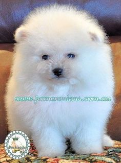 Marvelous Pomeranian Does Your Dog Measure Up and Does It Matter Characteristics. All About Pomeranian Does Your Dog Measure Up and Does It Matter Characteristics. White Pomeranian Puppies, Save A Dog, Getting A Puppy, Training Your Dog, Happy Dogs, Beautiful Dogs, Dog Friends, Dog Life, Dog Toys